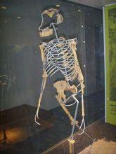 Nachbildung von Lucys Skelett im Frankfurter Naturmuseum Senckenberg