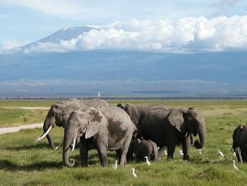 Elefanten suchen nach Nahrung im Gebiet des Kilimandscharo