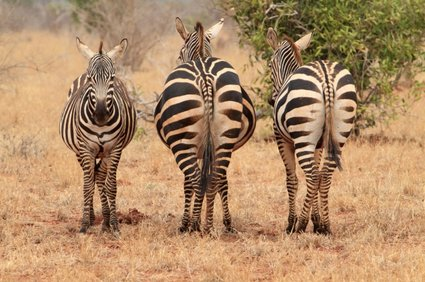 Zebras in der Trockensavanne in Sudan (c) helpster