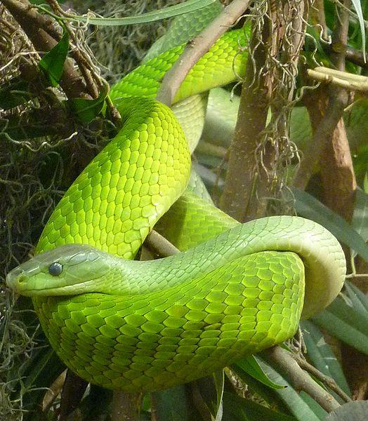 Африка змеи мамба